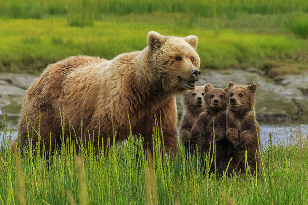Brown Bear Art Print featuring the photograph Brown Bear Sow And Cubs, In The Long by Mint Images - Art Wolfe