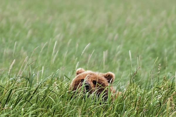Katmai Peninsula Art Print featuring the photograph Brown Bear by Trevor Johnston / Eye Meets World Photography