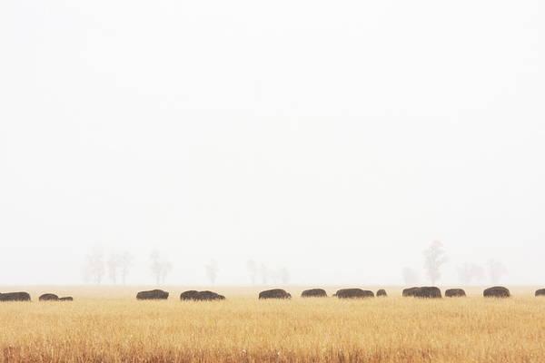Scenics Art Print featuring the photograph Buffalo Bison Herd Migration Fog by Chuckschugphotography
