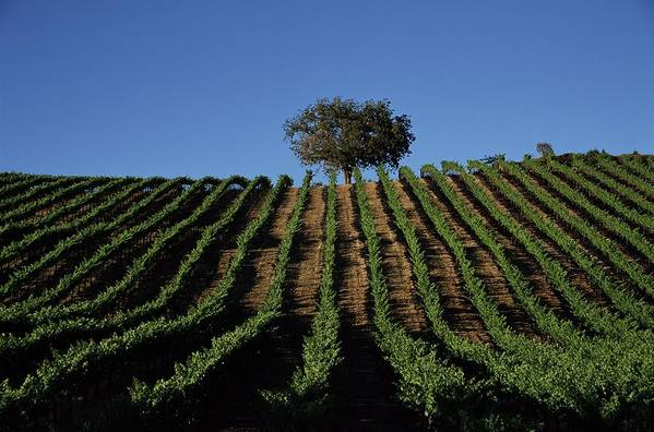 Following Art Print featuring the photograph Californias Winegrape Growing Region Of by George Rose