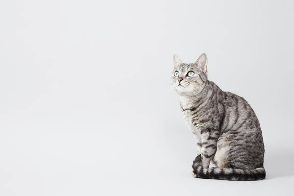 Pets Art Print featuring the photograph Cat Looking Up by Lisa Stirling