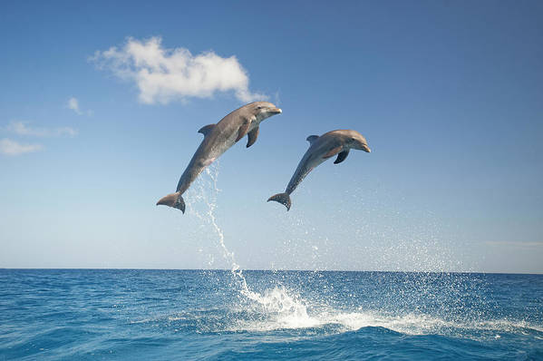Aerodynamic Art Print featuring the photograph Common Bottlenose Dolphins Tursiops by Mike Hill