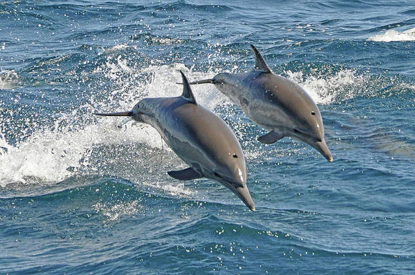 Diving Into Water Art Print featuring the photograph Common Dolphins Leaping by Tim Melling