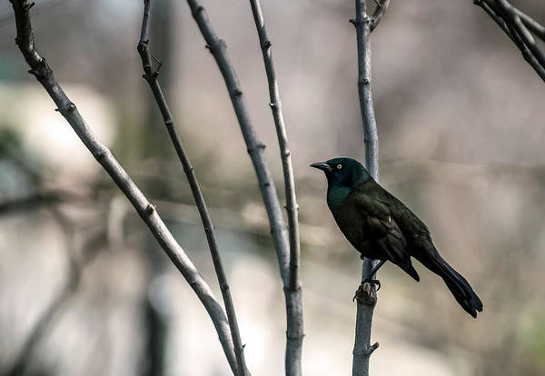 Animal Themes Art Print featuring the photograph Common Grackle by By Ken Ilio