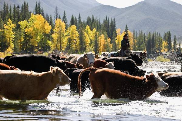People Art Print featuring the photograph Cowboy Herding Cattle Across River by Design Pics/carson Ganci