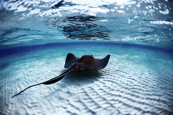 Underwater Art Print featuring the photograph Deadly Stingray by Extreme-photographer
