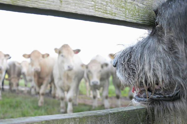 Alertness Art Print featuring the photograph Dog Watching Cows Through Fence by Cecilia Cartner