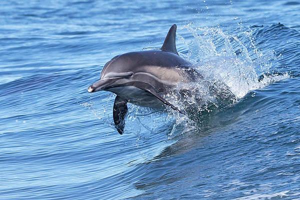 Wake Art Print featuring the photograph Dolphin Riding Wake by Greg Boreham (treklightly)