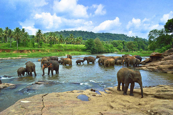 Animals In The Wild Art Print featuring the photograph Elephants Bathing In River by Imagebook/theekshana Kumara