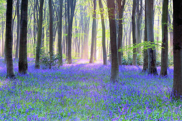 Scenics Art Print featuring the photograph English Bluebell Wood At Dawn by Doug Chinnery