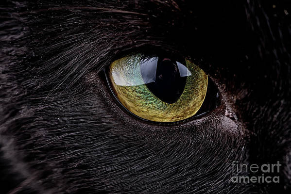 Pets Art Print featuring the photograph Eye Of Black Cat, Felis Silvestris Catus by Westend61