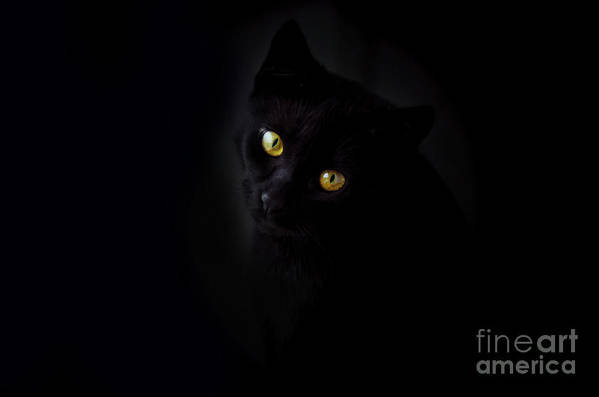Pets Art Print featuring the photograph Face Of Black Cat In Front Of Black by Westend61