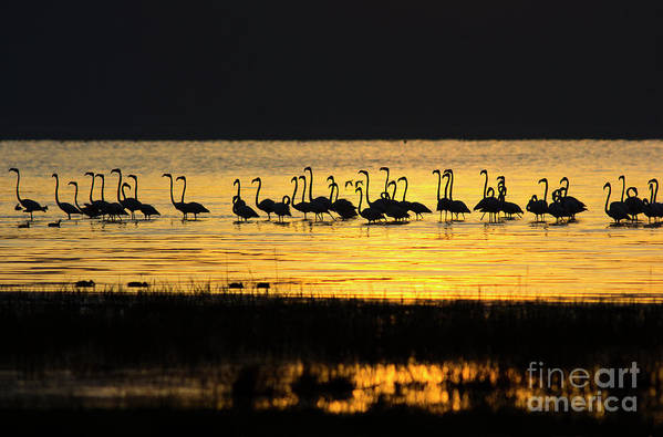 Water's Edge Art Print featuring the photograph Flamingos At Dawn by Wldavies