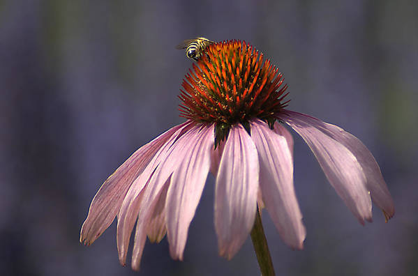 Insect Art Print featuring the photograph Flower And Bee by Bob Van Den Berg Photography