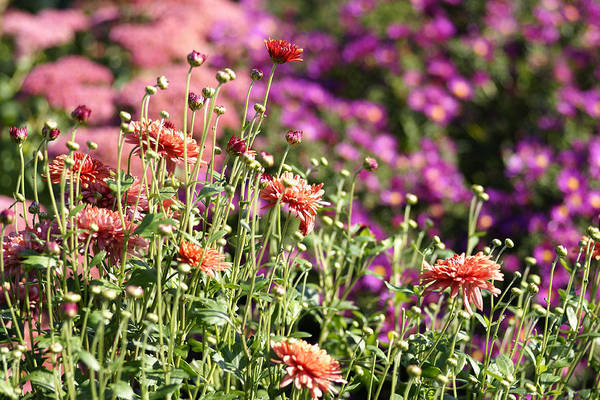 Flowerbed Art Print featuring the photograph Flowerbed With Michaelmas Daisies by Schnuddel