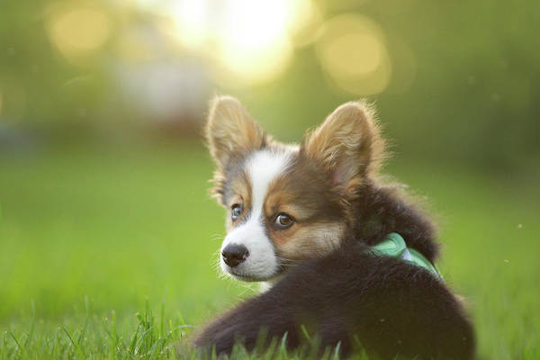 Pets Art Print featuring the photograph Fluffy Corgi Puppy Looks Back by Holly Hildreth