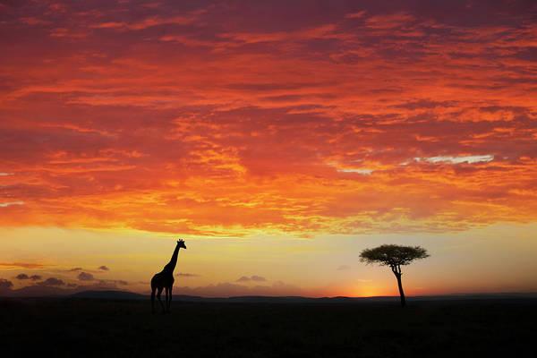 Kenya Art Print featuring the photograph Giraffe And Acacia Tree At Sunset by Buena Vista Images