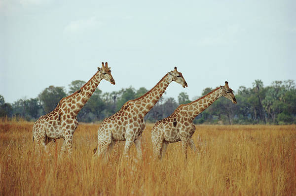 Horned Art Print featuring the photograph Giraffe Herd, Botswana by Tim Graham