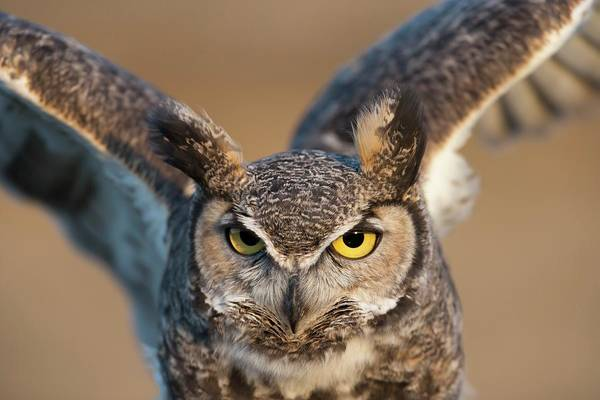 Bird Of Prey Art Print featuring the photograph Great-horned Owl Bubo Virginianus by Design Pics / David Ponton