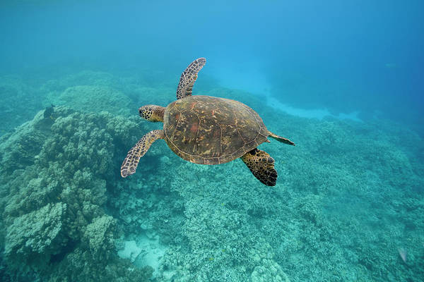 Underwater Art Print featuring the photograph Green Sea Turtle, Big Island, Hawaii by Paul Souders