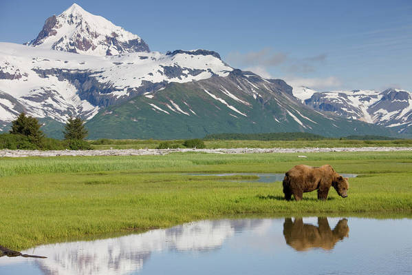 Brown Bear Art Print featuring the photograph Grizzly Bear, Katmai National Park by Paul Souders