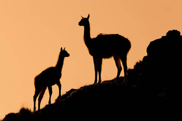 Sebastian Kennerknecht Art Print featuring the photograph Guanaco Mother And Cria At Sunset by Sebastian Kennerknecht