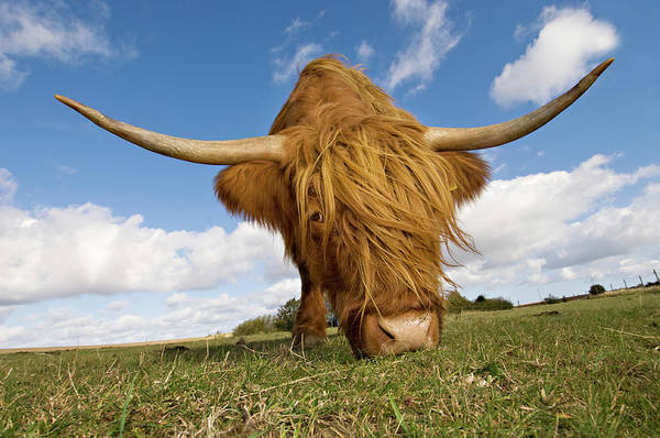 Horned Art Print featuring the photograph Hairy, Horned, Highland Cow Grazing by Clarkandcompany