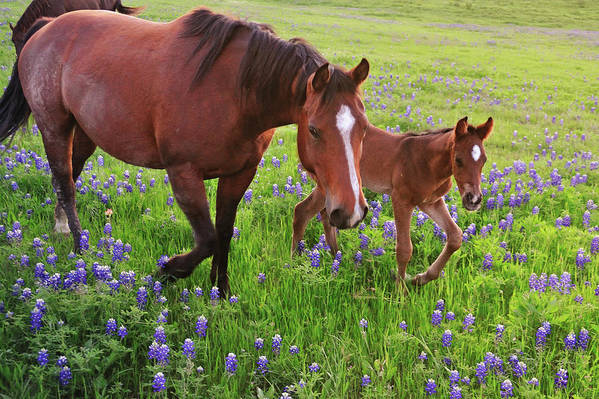 Horse Art Print featuring the photograph Horse On Bluebonnet Trail by David Hensley
