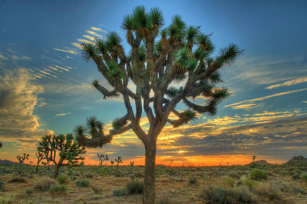 Scenics Art Print featuring the photograph Joshua Tree At Sunrise by Photograph By Kyle Hammons