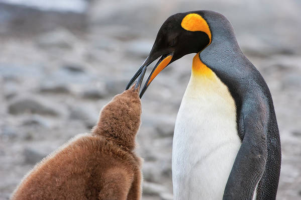 Care Art Print featuring the photograph King Penguin Feeding A Chick by Gabrielle Therin-weise