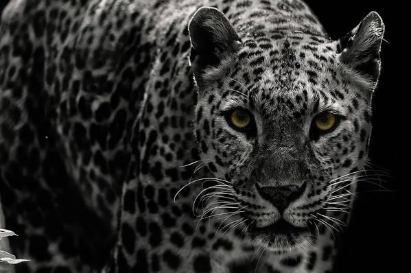 Big Cat Art Print featuring the photograph Leopard by Somak Pal