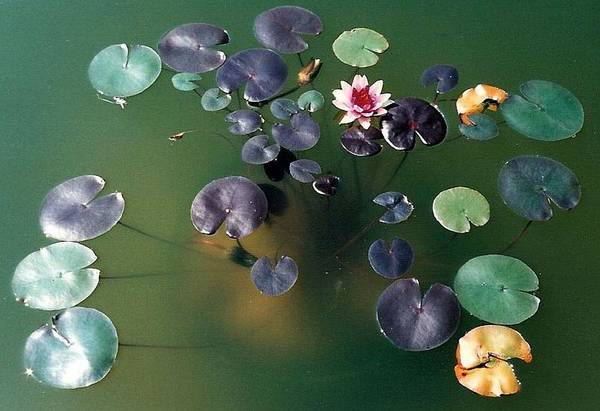 1980-1989 Art Print featuring the photograph Lillypad by Margherita Wohletz