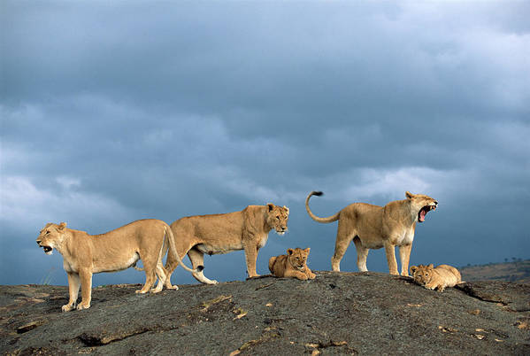 Kenya Art Print featuring the photograph Lionesses And Cubs Panthera Leo On by James Warwick