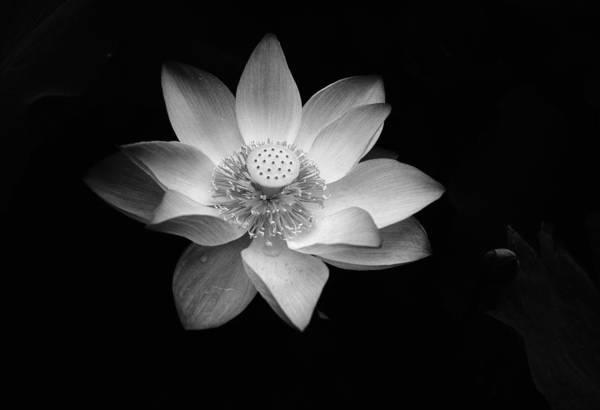 Petal Art Print featuring the photograph Lotus by Jimmy Tsang