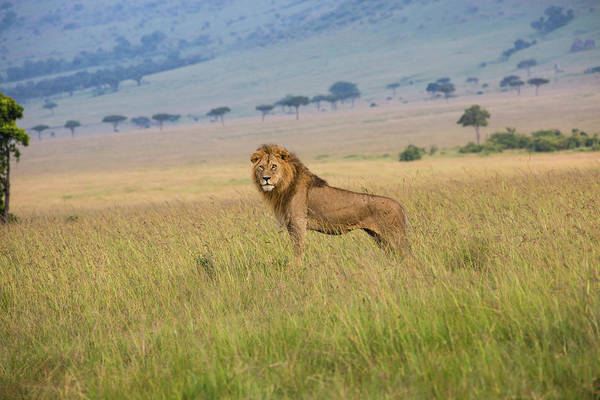 Kenya Art Print featuring the photograph Male Lion In The Savanna Masai Mara by Seppfriedhuber