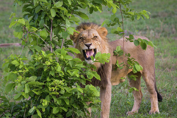 Toughness Art Print featuring the photograph Male Lion With Teeth Bared, Botswana by Karen Desjardin