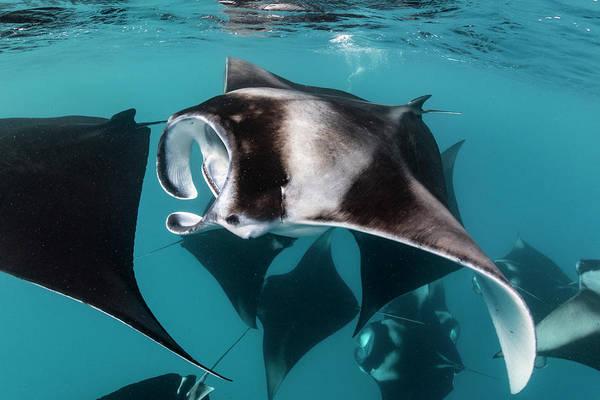 Animal Art Print featuring the photograph Manta Rays Filter Feeding, Hanifaru by Tui De Roy