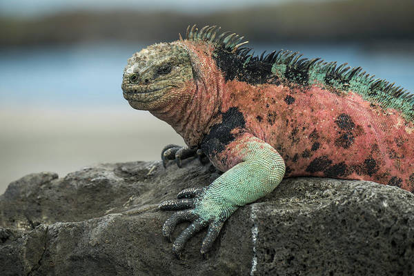 Animals Art Print featuring the photograph Marine Iguana Male In Breeding Color by Tui De Roy