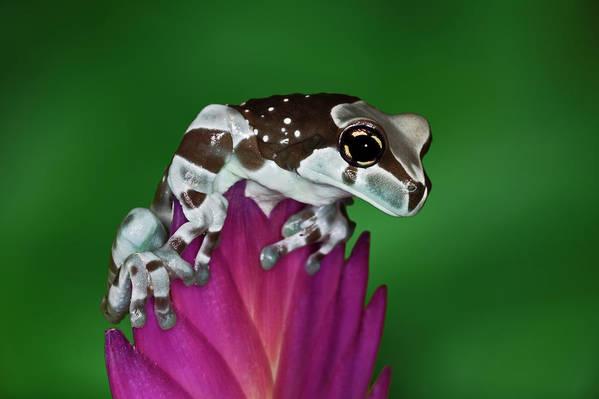 Animal Themes Art Print featuring the photograph Milk Frog, Trachycephalus Resinifictrix by Adam Jones