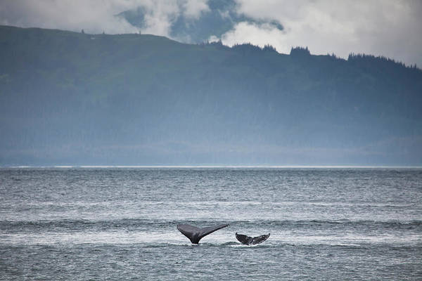 Water's Edge Art Print featuring the photograph Mother And Calf Whale Tails Megaptera by Blake Kent / Design Pics