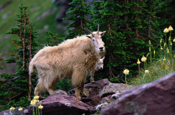 Animal Themes Art Print featuring the photograph Mountain Goat Oreamnos Americanus by Art Wolfe