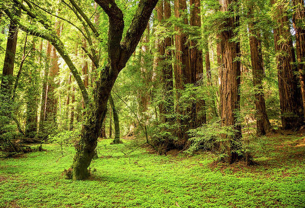 Tranquility Art Print featuring the photograph Muir Woods Forest by By Ryan Fernandez