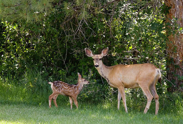 Animal Themes Art Print featuring the photograph Mule Deer & Fawns by Swkrullimaging