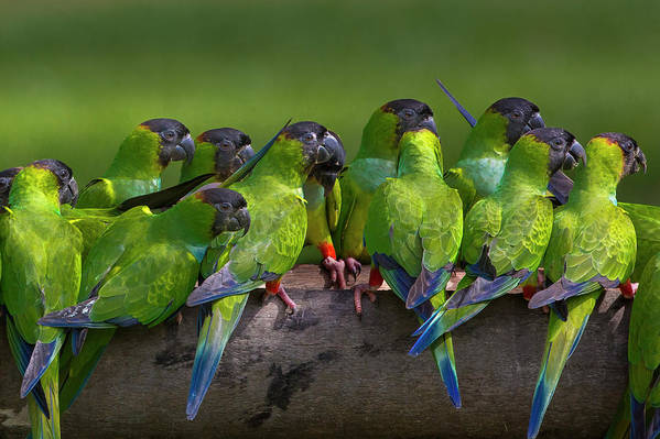 Vertebrate Art Print featuring the photograph Nanday Parakeets Perched In A Row In by Mint Images - Art Wolfe