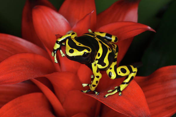 Animal Themes Art Print featuring the photograph Orange Banded Dart Frog Dendrobates by Adam Jones
