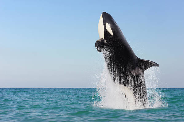 Three Quarter Length Art Print featuring the photograph Orca Jumping Out Of Water by Martin Ruegner