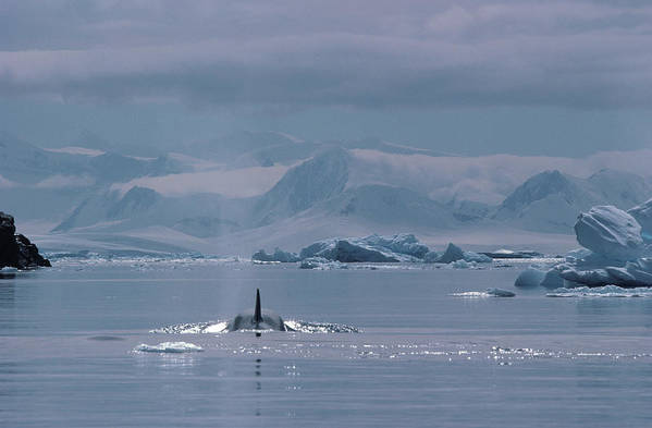 Iceberg Art Print featuring the photograph Orca Orcinus Orca, Antarctica by Art Wolfe