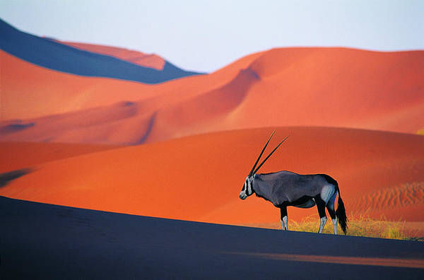 Scenics Art Print featuring the photograph Oryx Antelope by Natphotos