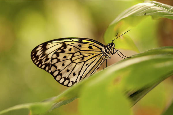 Natural Pattern Art Print featuring the photograph Paper Kite Butterfly by Photos By Jay Bee