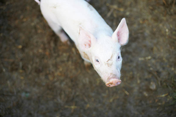 Pig Art Print featuring the photograph Pig Standing In Dirt Field by Peter Muller
